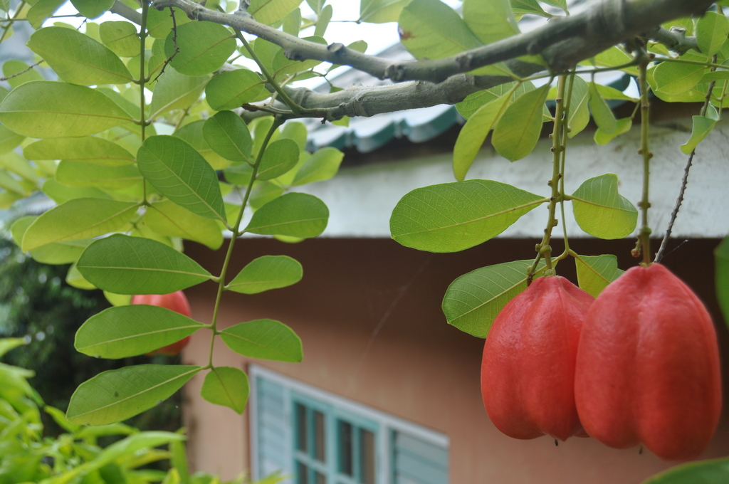 ackee fruit